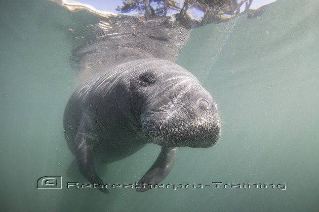 Swimming with Manatees - Rebreatherpro-Training
