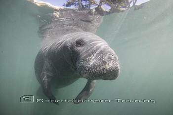 Swimming with Manatees Rebreatherpro-Training